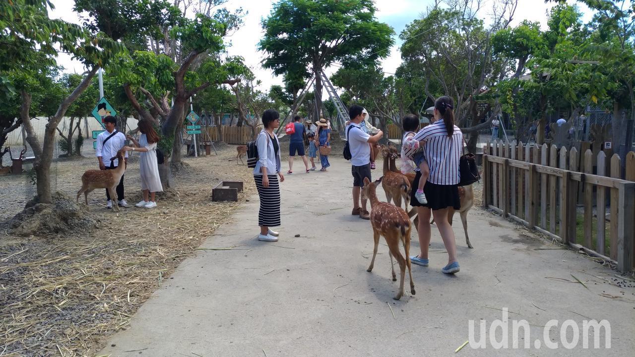 鹿境的梅花鹿和遊客互動。記者楊德宜/攝影