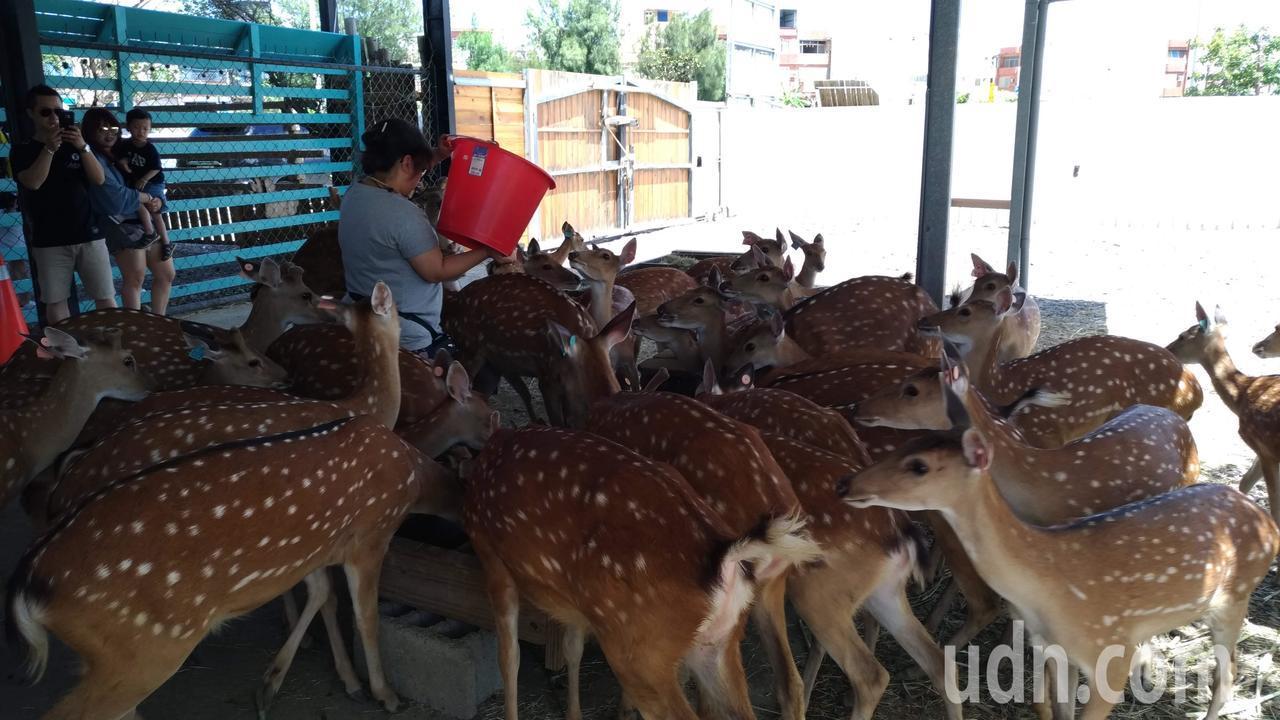 鹿境的梅花鹿等「放飯」。記者楊德宜/攝影