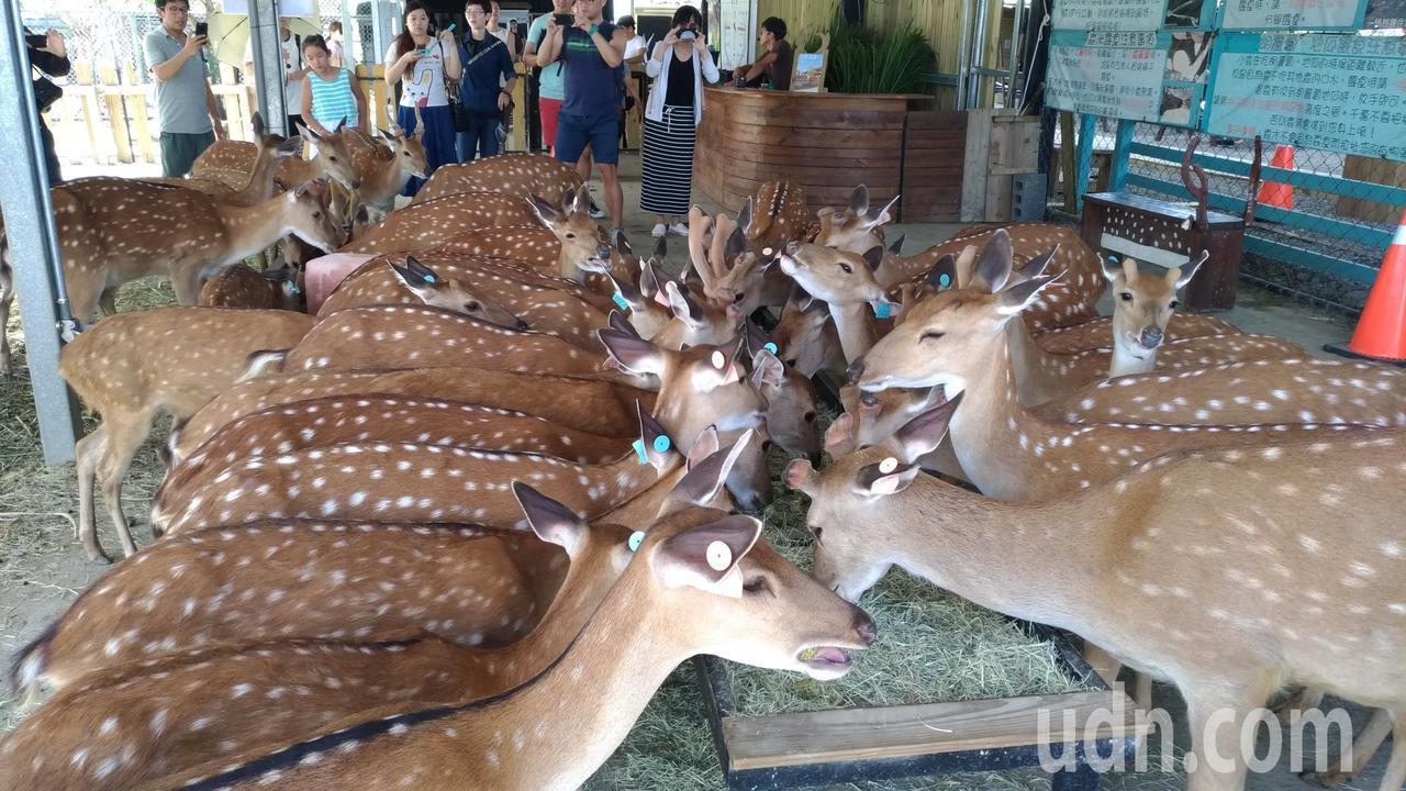 鹿境的梅花鹿。記者楊德宜/攝影