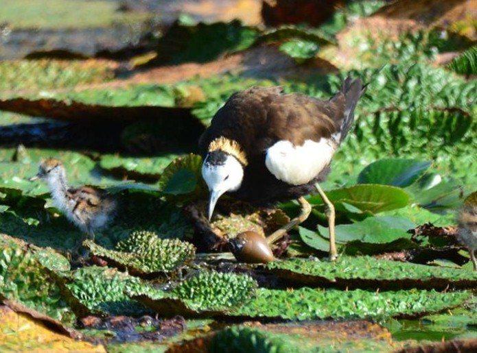 看著墨綠色的水雉蛋寶,公鳥正等待孵化。圖/ 周俊雄提供