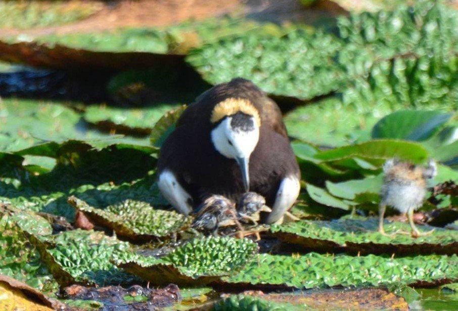 水雉公鳥把寶寶孵化出來了,小水雉位於牠的下腹。圖/ 周俊雄提供