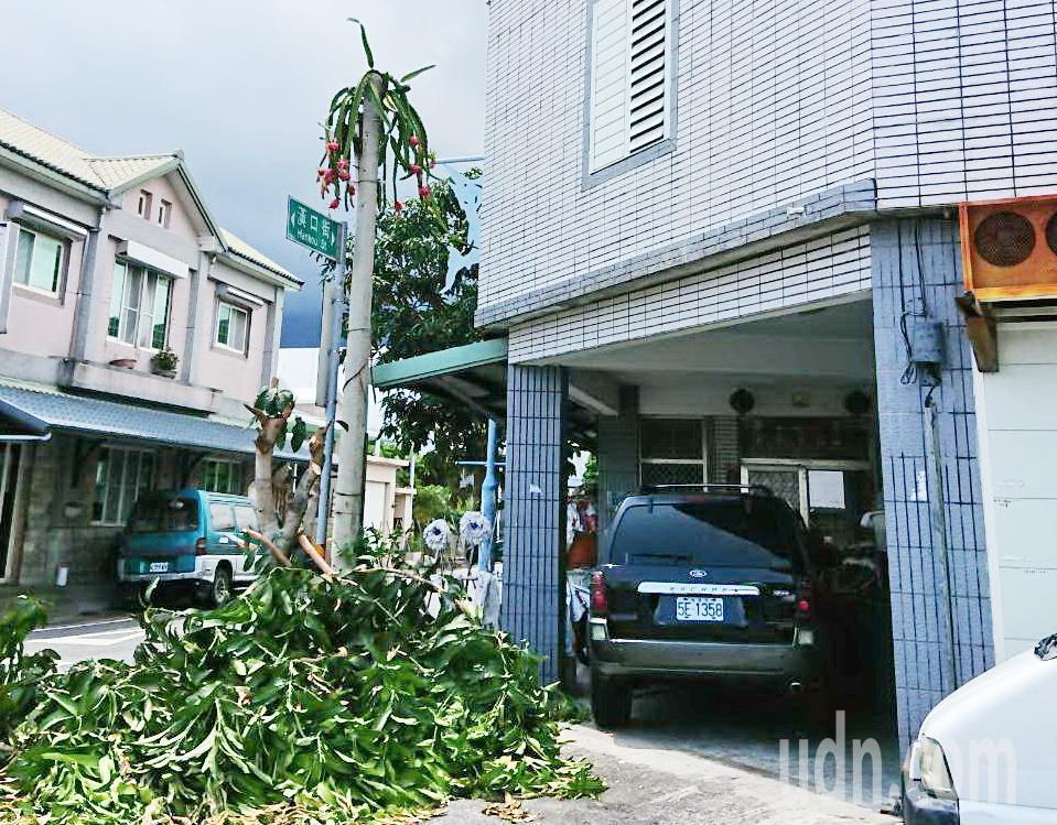 台東縣成功鎮漢口街與三民街口,今天意外「出現」1棵長在電線桿上的火龍果,吸引鎮民...