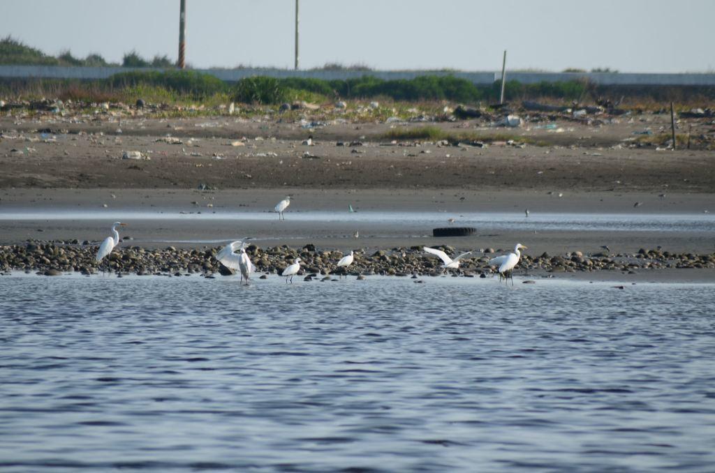 許厝港有良好的候鳥棲息地,劃為國家濕地後受保護。圖/取自桃園市政府觀光導覽網
