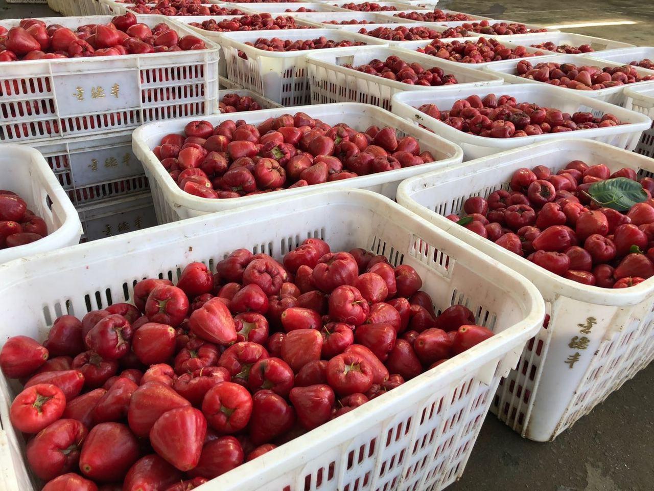 黃益豐的「中國紅」品種。 特派記者許依晨/攝影