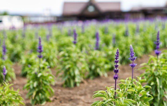 ▲北海道景點-富良野富田農場。(圖/粒粒玲子)
