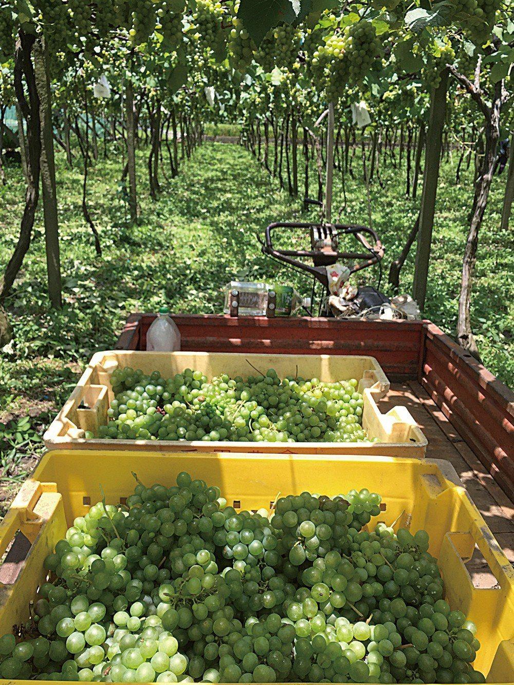 威石東契作的金香葡萄園,為了確保葡萄生長品質,採用手工疏葉、夜間摘採。 圖片提供...