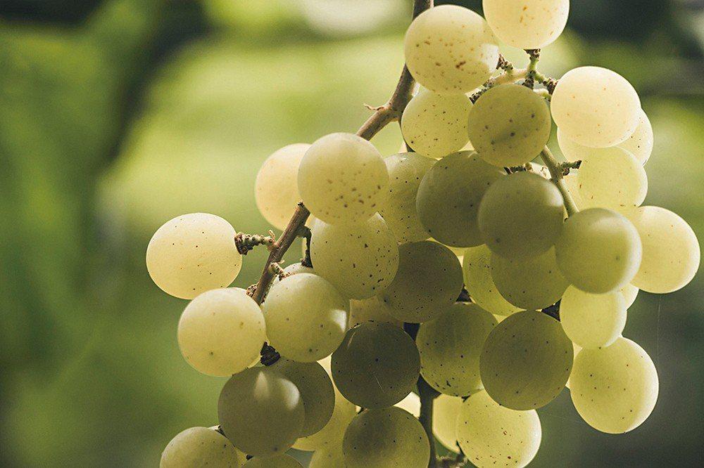 威石東獨家品種「台中三號」木杉葡萄。 圖片提供 威石東