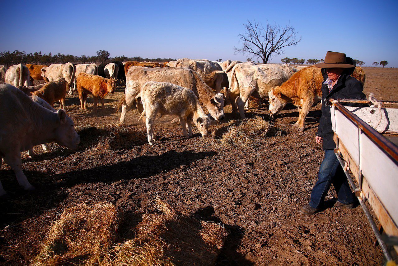 澳洲新南威爾斯省乾旱嚴重,牛群沒草可吃。路透