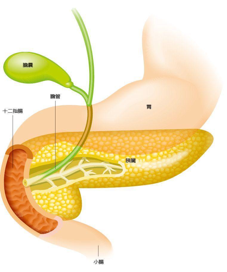 胰臟是沉默器官,胰臟癌難發現、難治療,幾乎是所有醫師與病患對胰臟癌的刻板印象。...