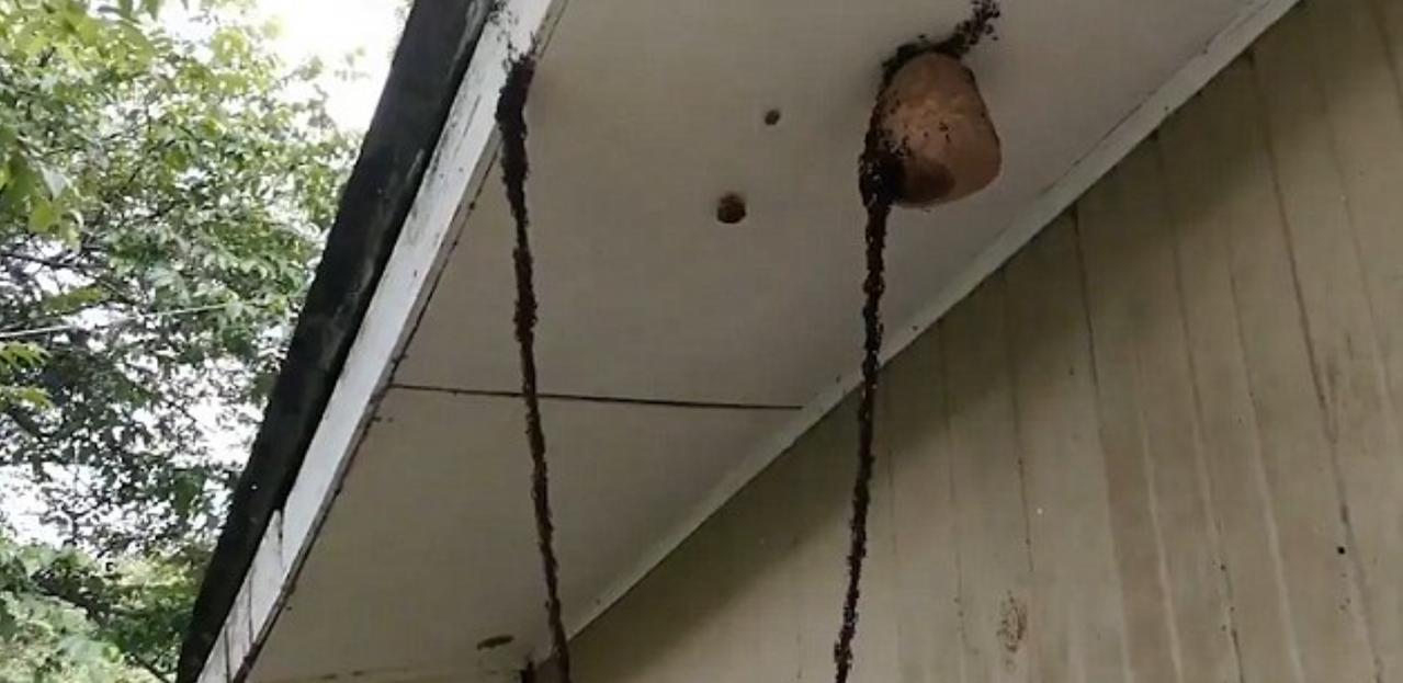 螞蟻築成橋梁,進攻蜂巢。圖擷自Twitter