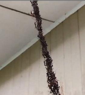看似一條「黑色」的線,其實是螞蟻造橋。圖擷自Twitter