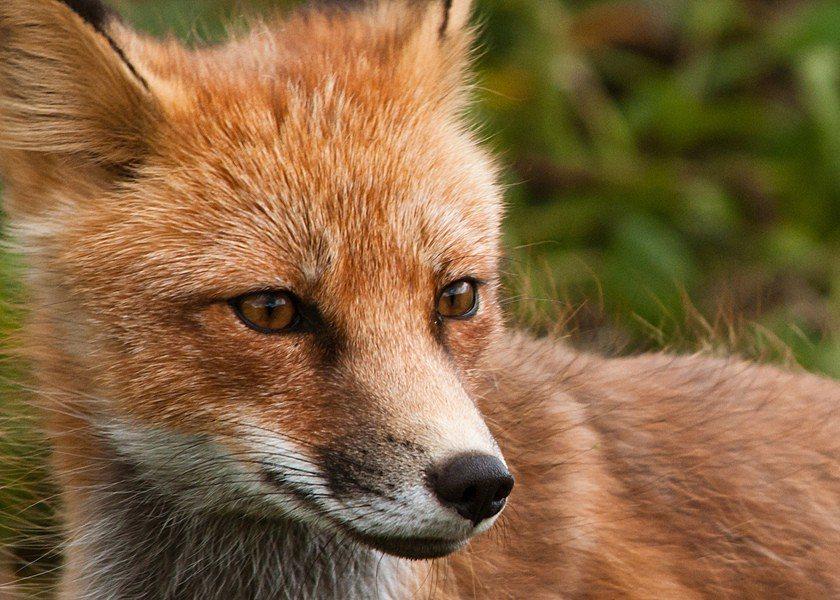 科學家發現狐狸某些基因會讓狐狸比較溫馴。 台灣醒報(擷自flickr)