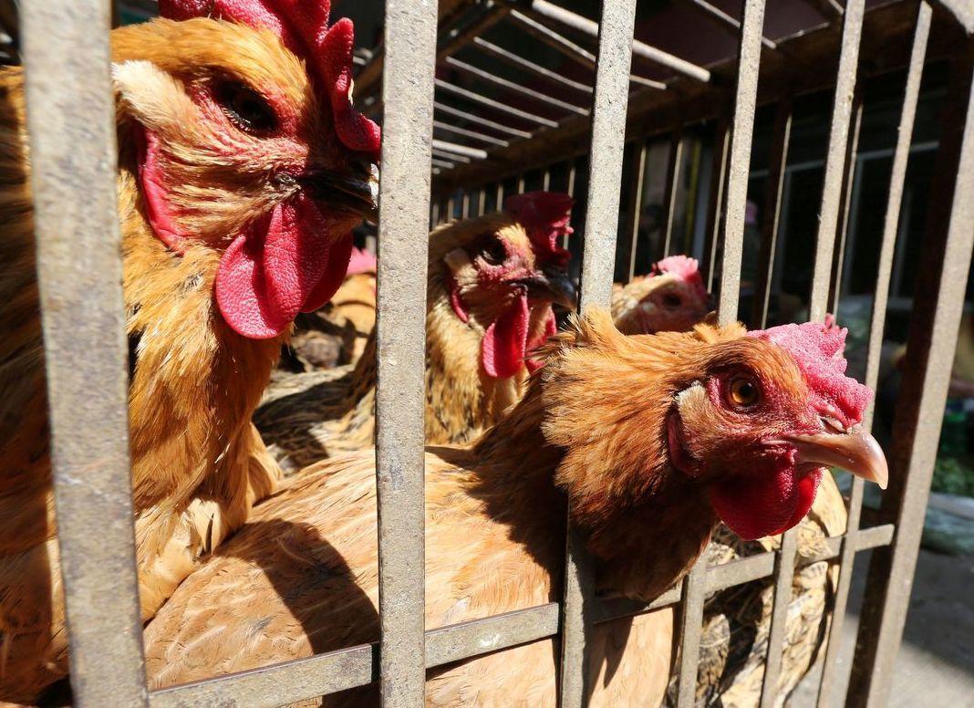 台灣有55.5萬隻雞保了禽流感保險。圖/聯合報系資料照片