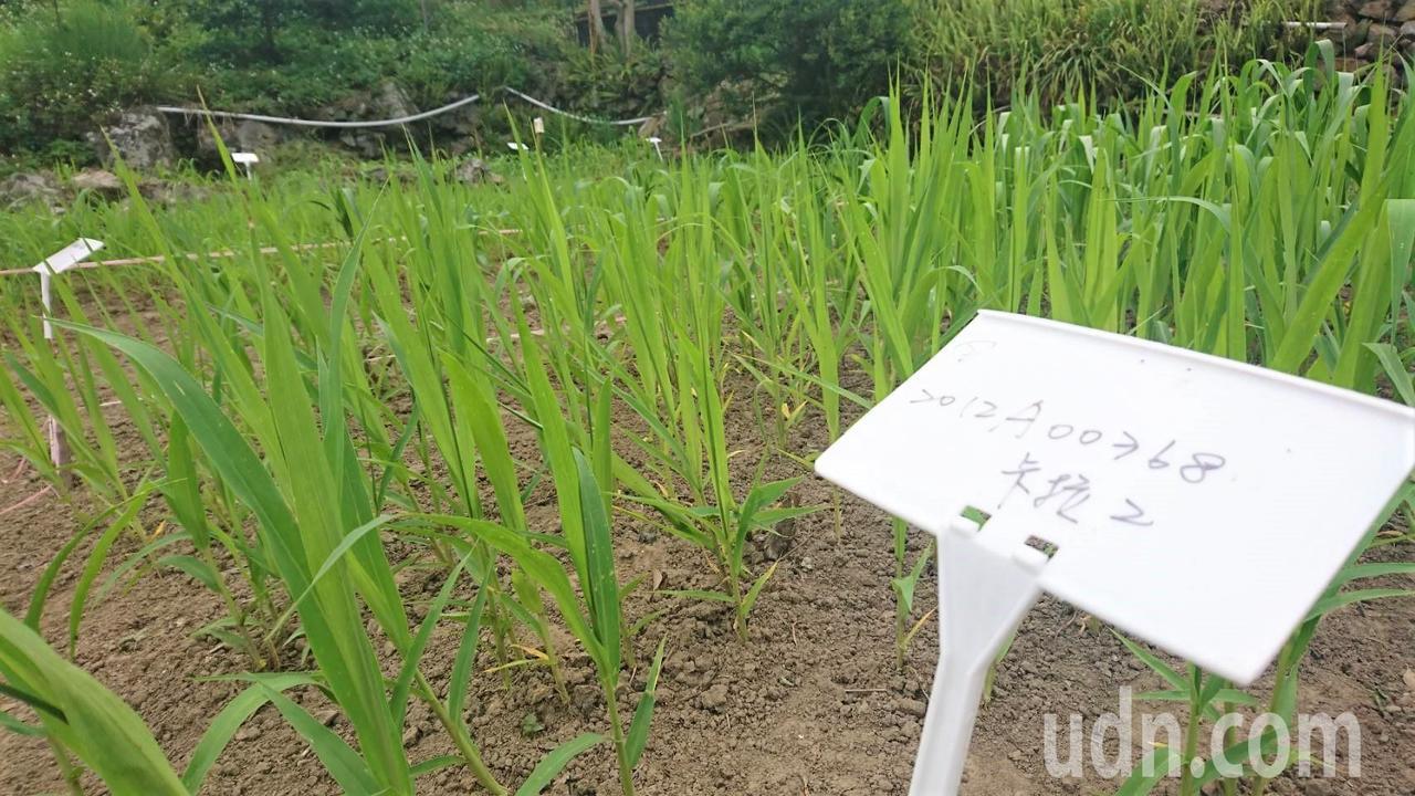 田埔部落土地上試種的小米。記者羅真/攝影