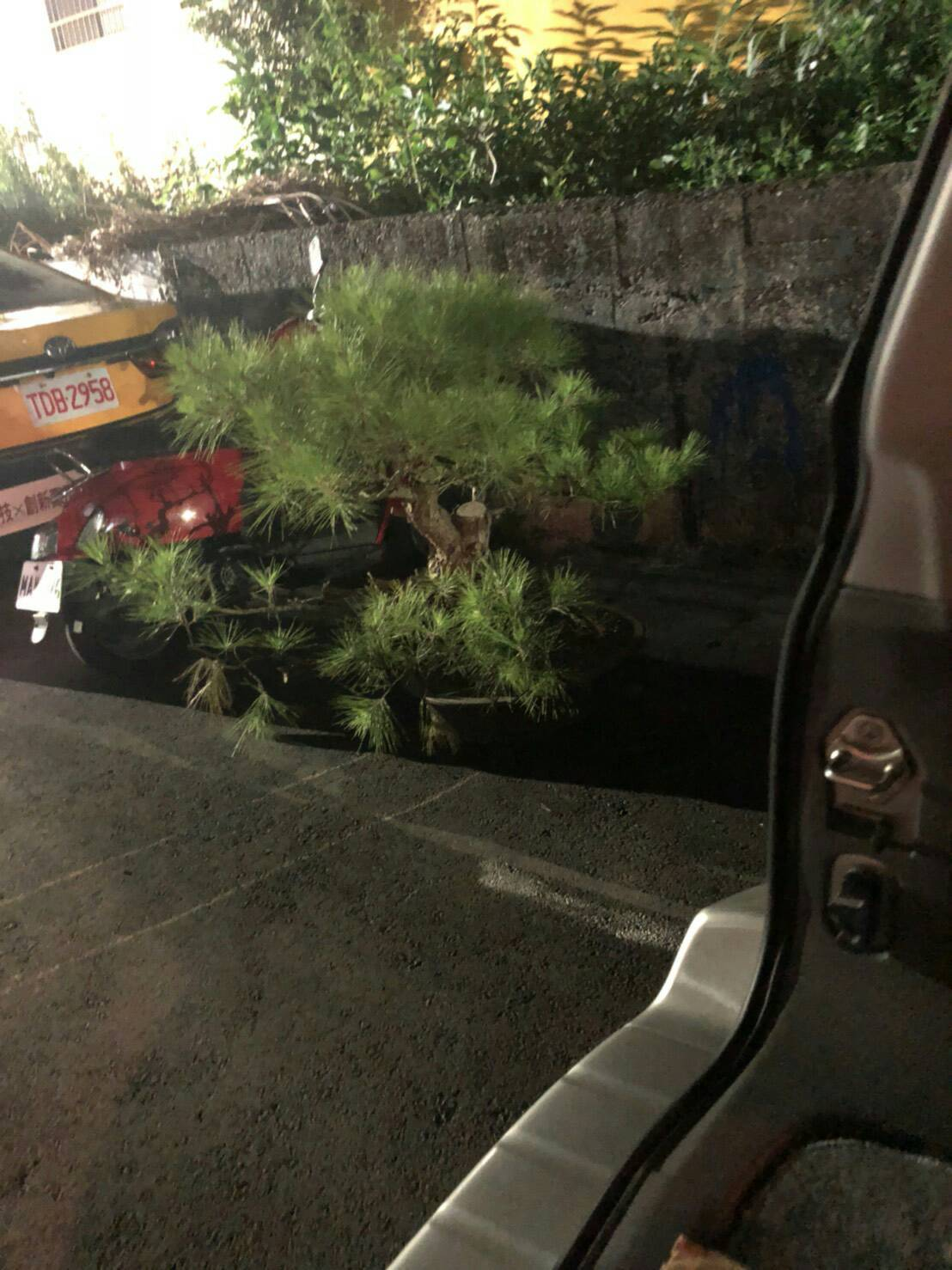昨天警方於桃園中壢找到失竊的赤松。圖/竹市第二警分局提供