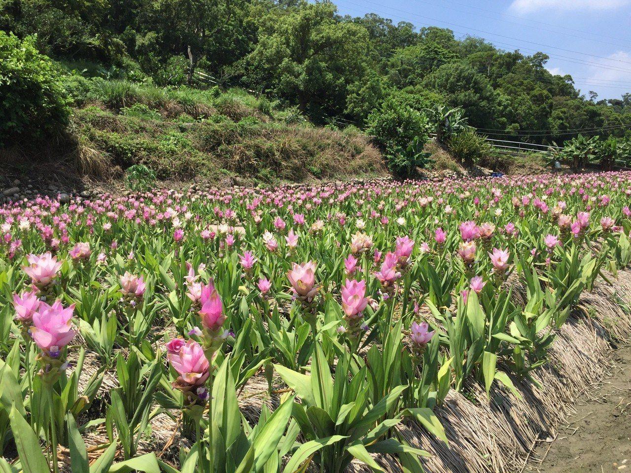 台中市外埔區水流東桐花步道旁,最近有一小片粉紅花海盛開。記者余采瀅/攝影
