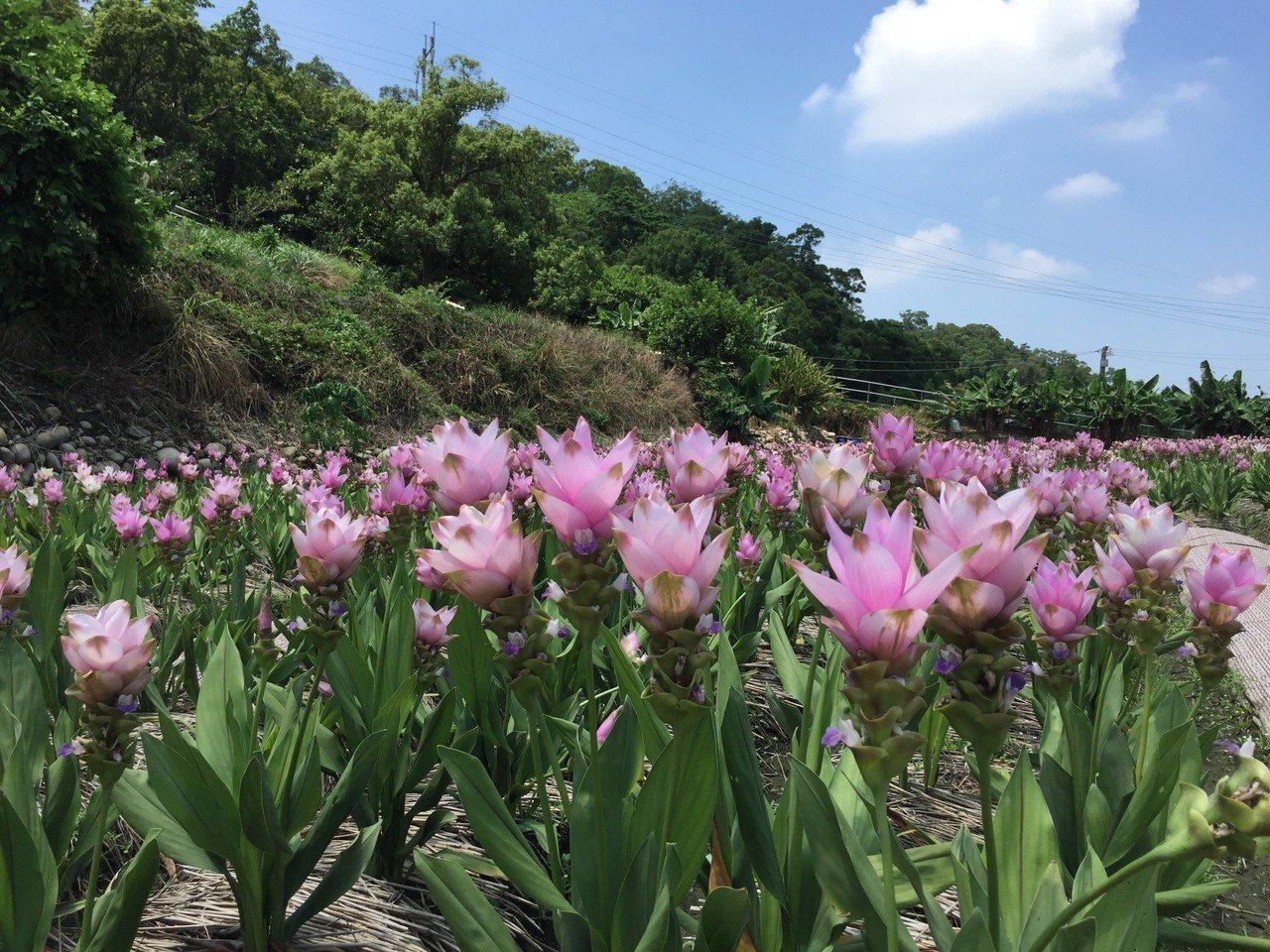 台中市外埔區水流東桐花步道旁,最近有一小片粉紅花海盛開,千朵薑荷花隨風搖曳,搭配...