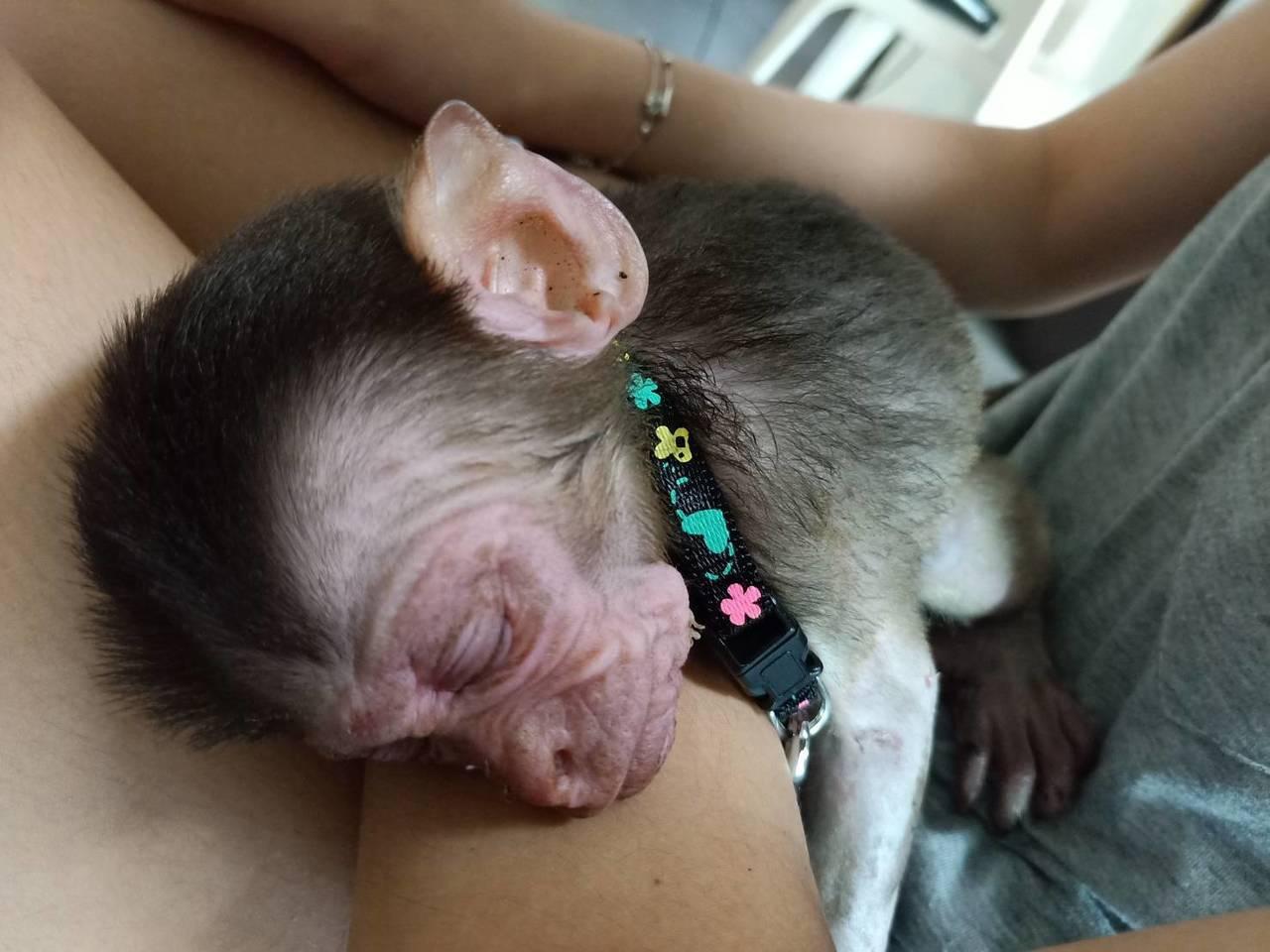 一隻約1個月大的台灣獼猴因母猴遭電殛成了孤兒,苗栗縣政府農業處收容照顧牠。圖/苗...