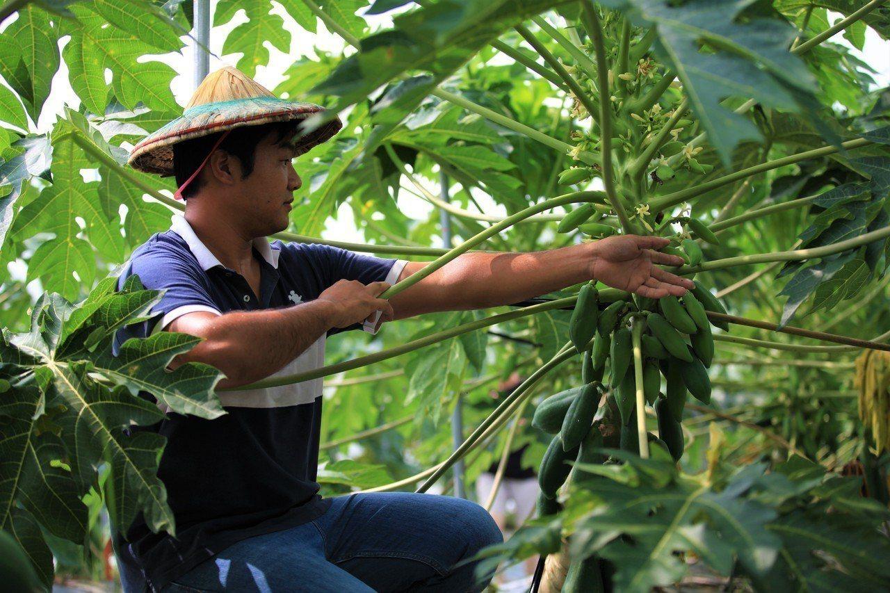 華南產險推出市場首張「木瓜保險,增加木瓜農保障。華南產/提供