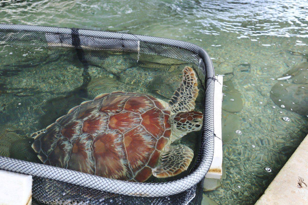 金門今天在后湖附近又發現到一隻綠蠵龜,縣府與金門縣野生動物救援暨保育協會立即前往...