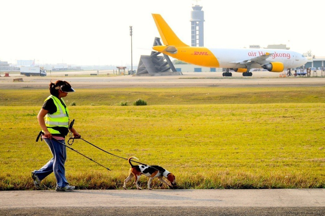 桃園機場利用米格魯偵測犬找蟻穴、灌餌劑,今年宣布解除紅火蟻疫區管制。圖/桃園機場...