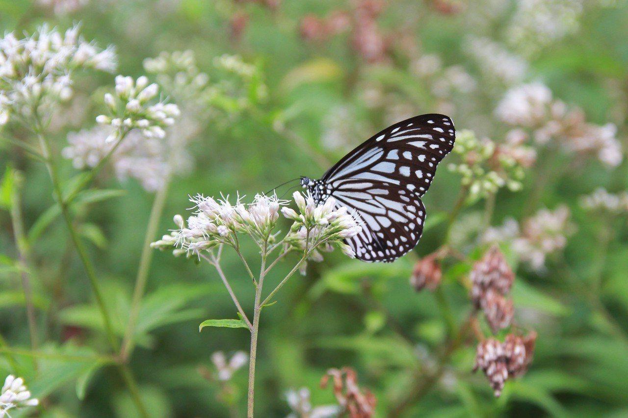 絹斑蝶吸食蜜源植物。圖/林務局提供