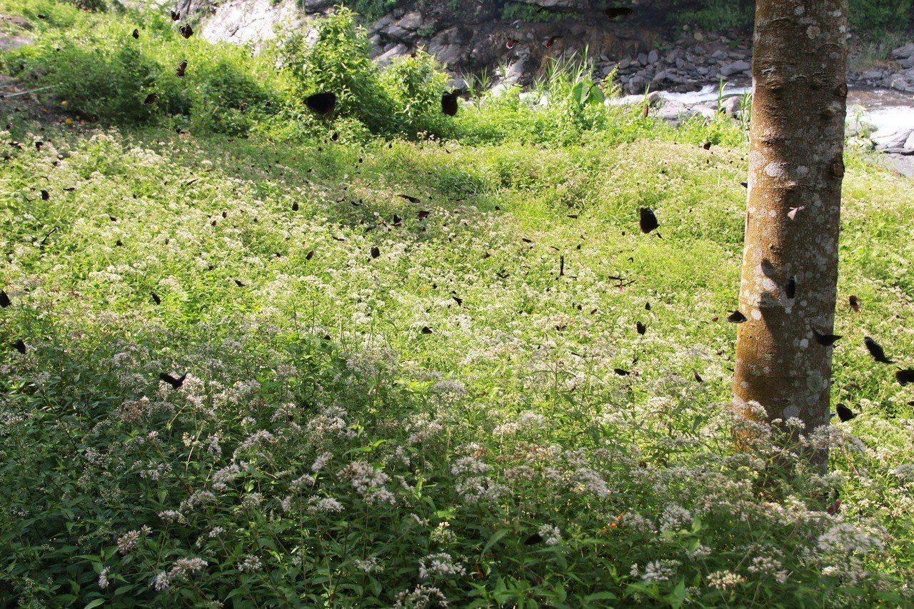 經過多年復育,六龜中興里蝴蝶的數量眾多,整年度都有蝴蝶可賞。圖/林務局提供