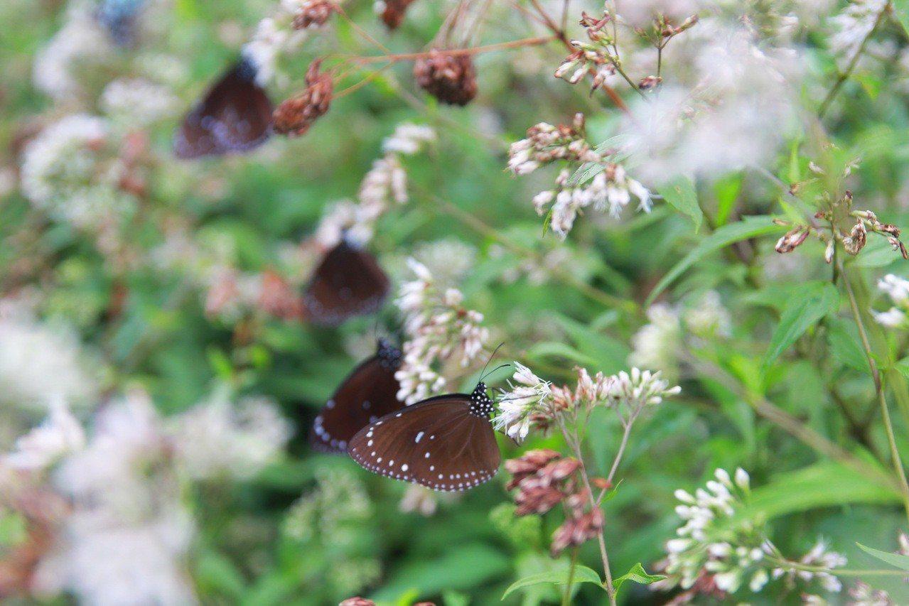 在復育林地上飛舞的紫斑蝶。圖/林務局提供