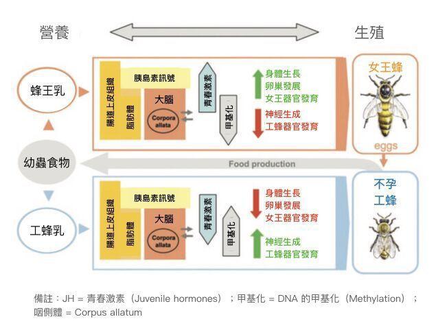 蜜蜂生長發育過程中,營養、大腦與生殖的關係。(Ref. 1) 圖片提供/MedP...