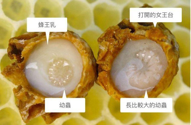 女王台內的幼蟲,白白的液狀物體就是蜂王漿。 出處:Wikipedia Credi...