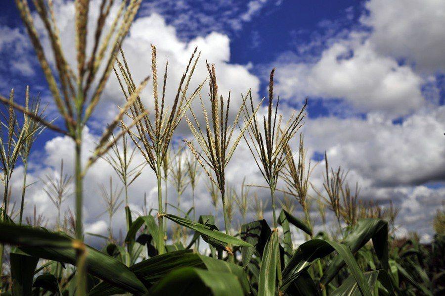 秋行軍蟲喜愛以玉米為食物來源。 台灣醒報(擷自Flicker)