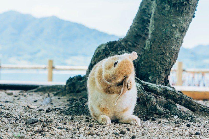 大久野島上約有七百隻兔子棲息。