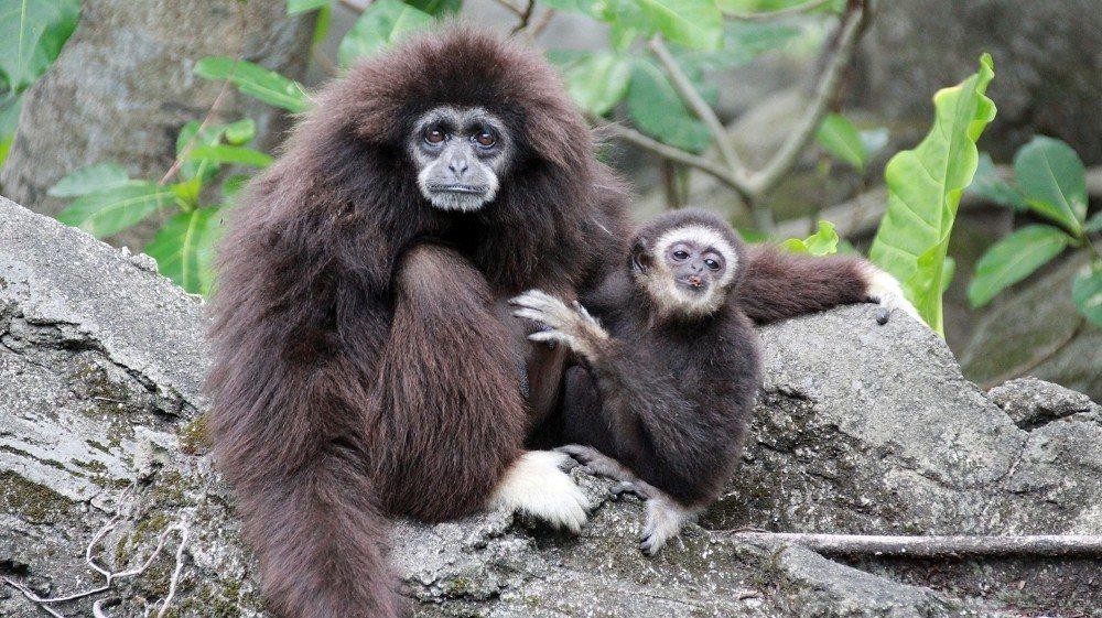 白手長臂猿「黛比」(左)去年驟逝,留下尚未獨立的「比波」(右)。圖/台北市立動物...