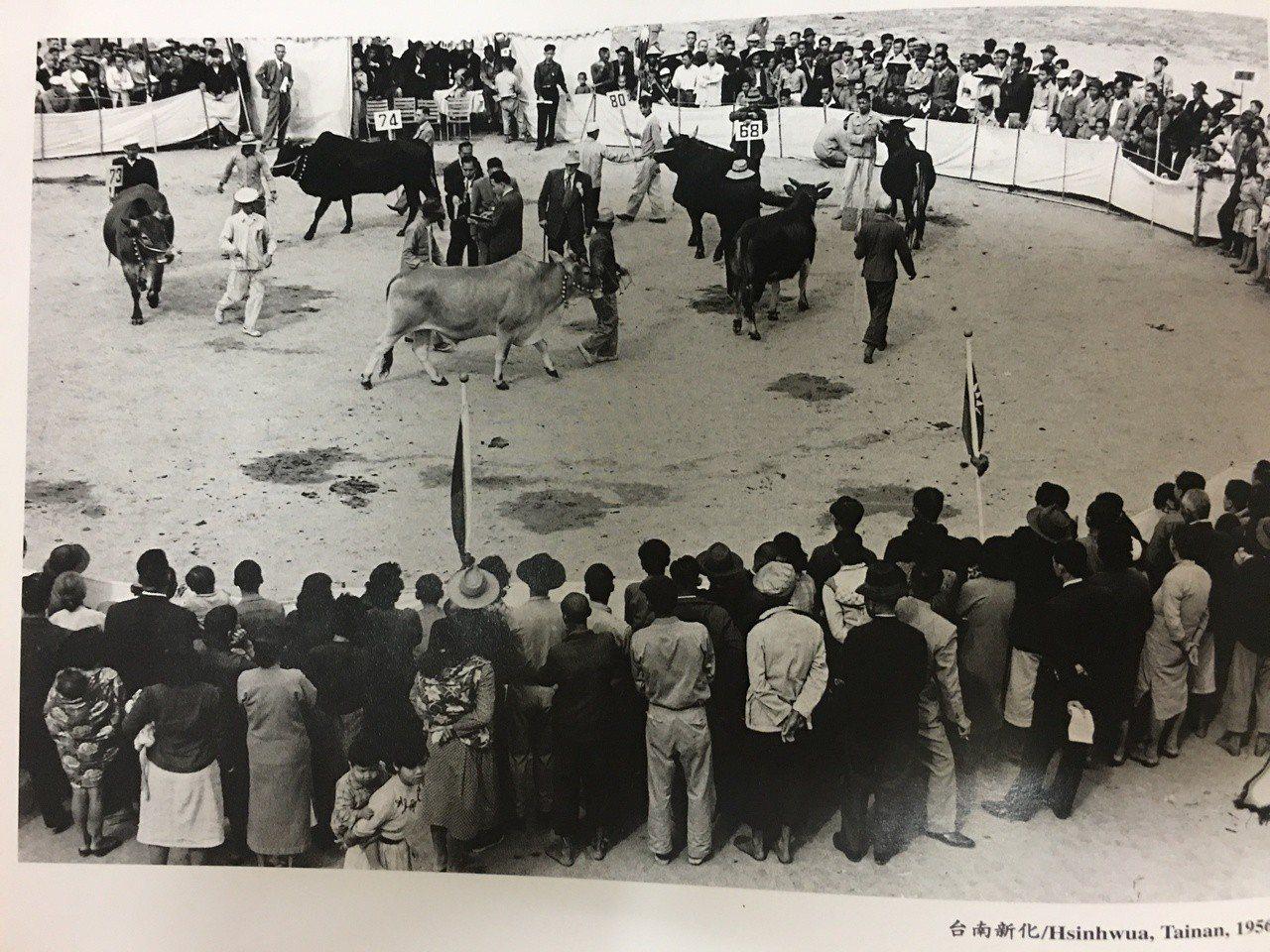攝影家楊基炘接受農復會(農委會前身)委託,在1956年在台南新化拍攝可能是牛隻競...