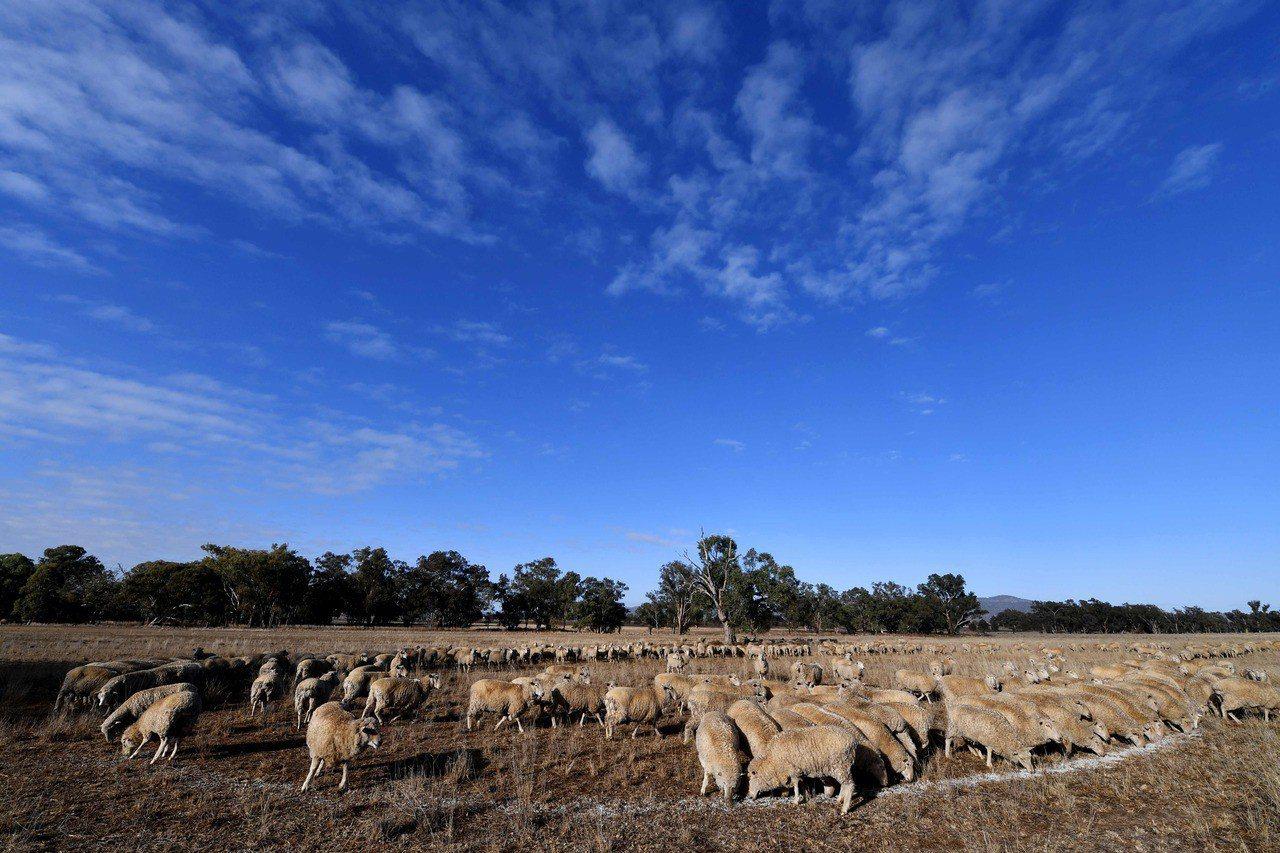 無綠草可吃,澳洲新南威爾斯省杜里一個牧場的羊群改吃棉籽。法新社