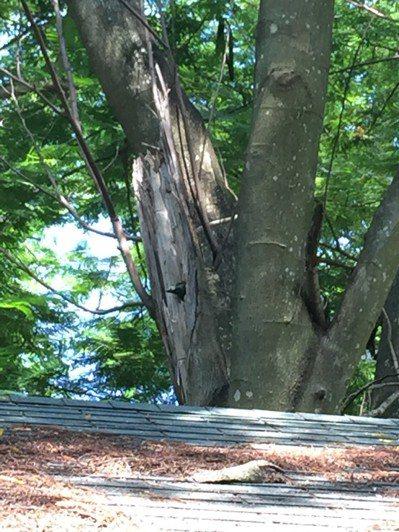 鳥松濕地公園處處生態,樹幹斷面處露出的鳥喙,是五色鳥在孵蛋。 記者羅建怡/攝影