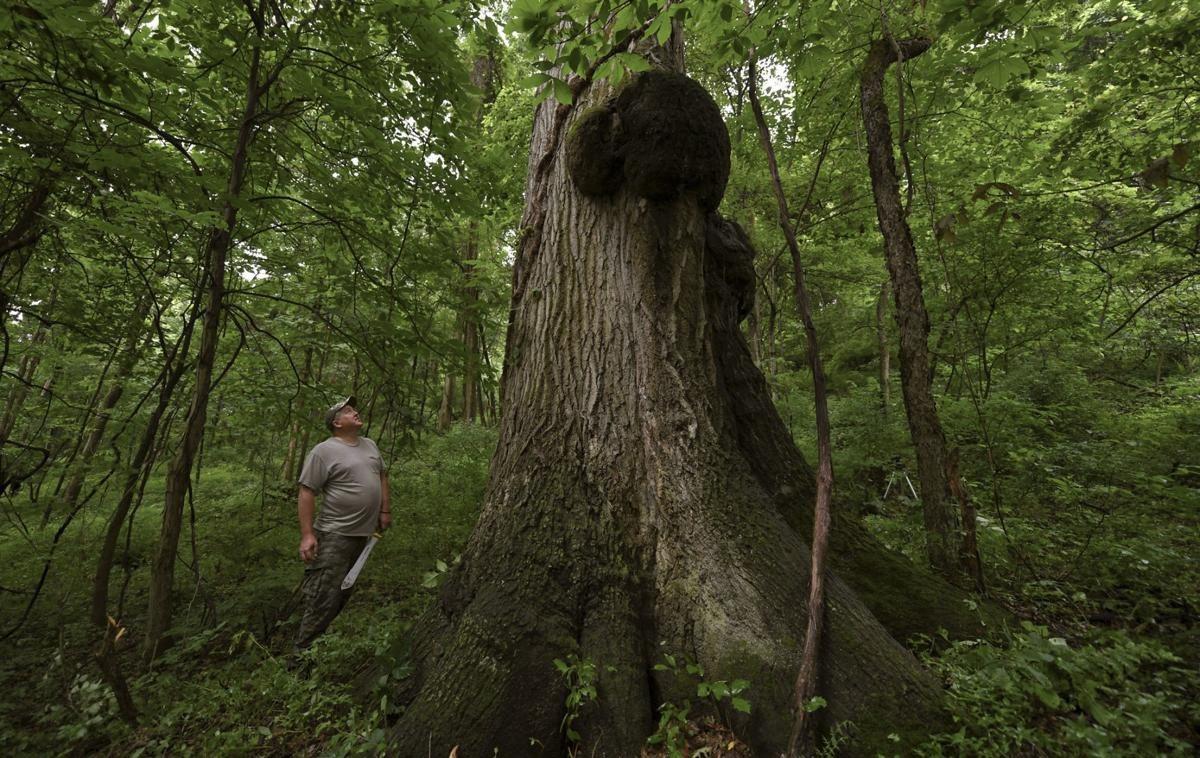 賓州一名護林員說,他發現了一棵巨大的紅橡樹,可能是該州最大的樹木之一。美聯社