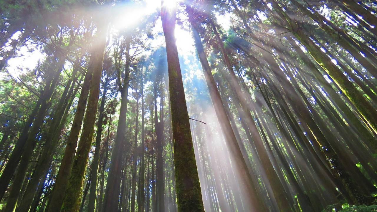 國家森林志工蘇家弘昨天上午11點在阿里山特富野古道,拍到耶穌光從柳杉林間放射出現...