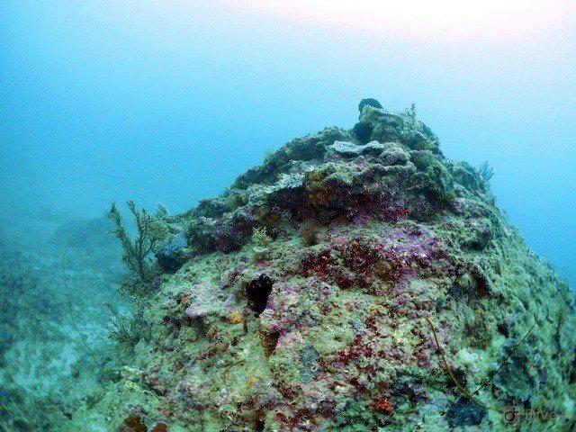 潛客本月3日發現墾丁南灣獨立礁區的1株海扇和棲息其間豆丁海馬不翼而飛。記者潘欣中...