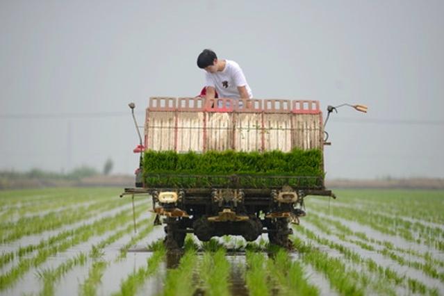 大陸將水稻、玉米、小麥三大糧食作物製種,納入中央財政農業保險保險費補貼目錄。(新...