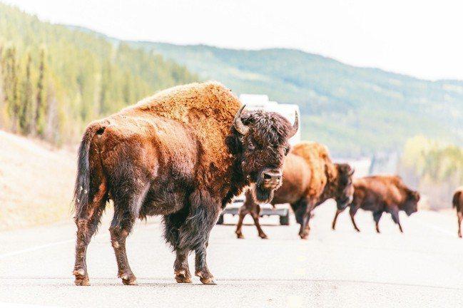 成群的美洲大野牛就這麼大剌剌地橫渡阿拉斯加公路。 圖/蕭嘉麟