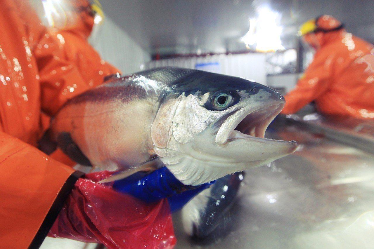 鮭魚出逃事件發生後,智利的漁民與環團,全都緊張指控美威集團「製造了重大的生態危機...