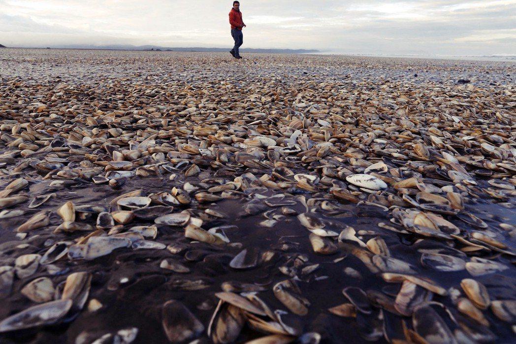 接著智利沿海出現極為嚴重的赤潮,大量貝類、蝦蟹集體暴斃。 圖/歐新社