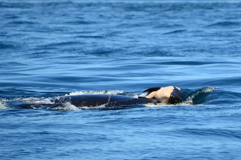 幼鯨7月24日出生後沒多久便夭折,母鯨連續16天用前額頂幼鯨,避免屍體沉入海中。...