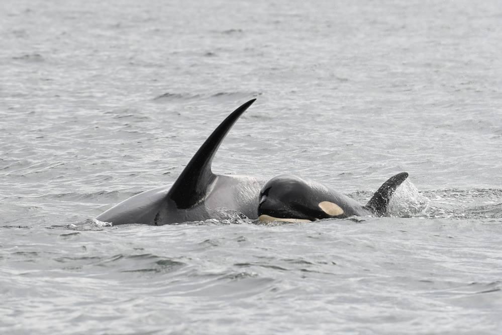 加拿大卑詩省外海幼鯨夭折故事引發民眾對瀕危虎鯨的關注。取自Center for ...