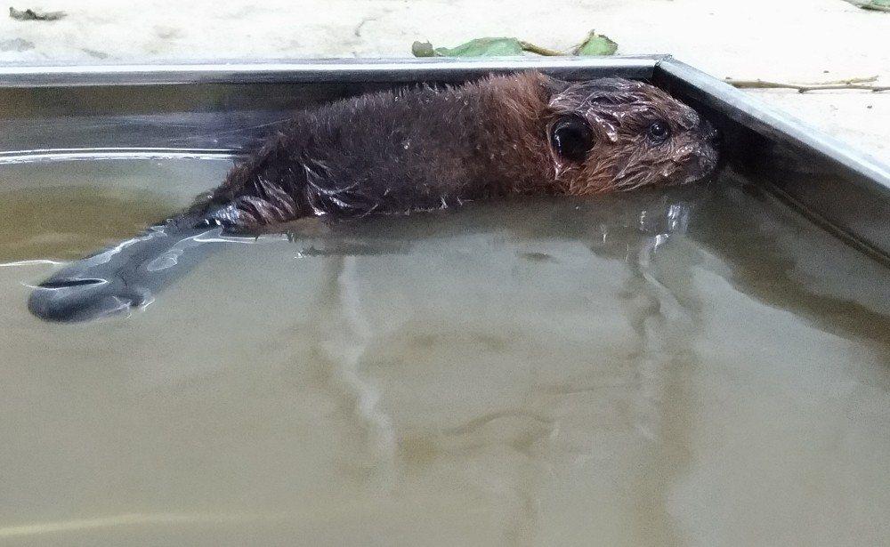 保育員聽到拍打水聲音,目睹河狸寶寶獨自在淺水盆內游水。圖/台北市立動物園提供