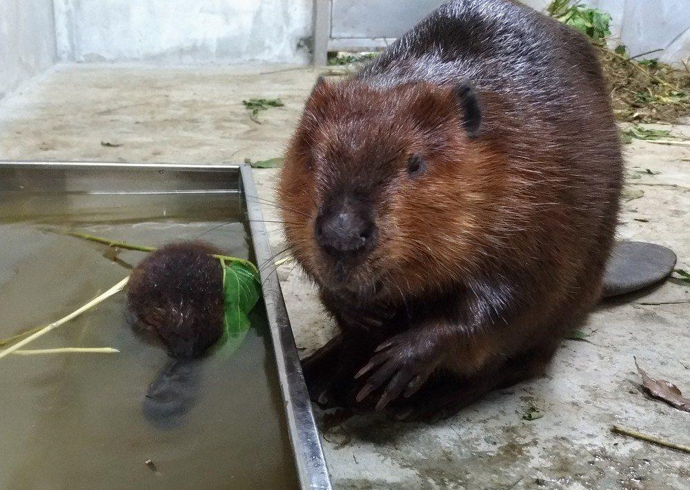 溫帶動物區的小河狸,今天剛好滿月,媽媽「羅娜」在一旁戒護。圖/台北市立動物園提供