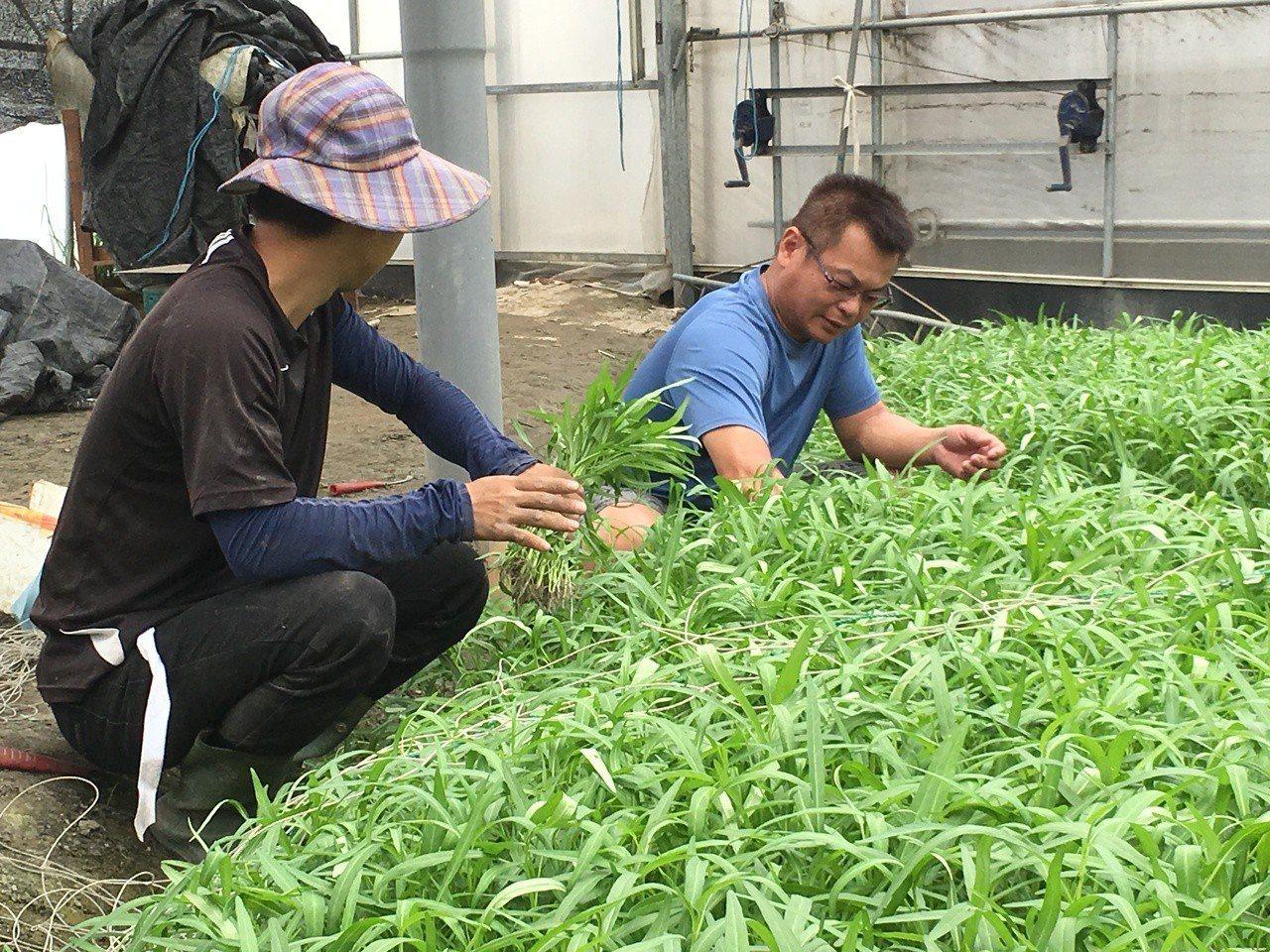 近日氣候炎熱高溫,雲林蔬菜產地葉菜類生長迅速,小白菜、青江白菜、油菜等葉菜類都因...