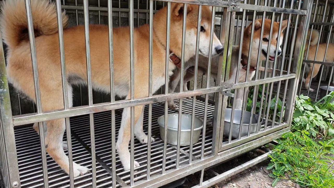 基隆市東勢街有民眾在住家旁空地飼養多隻柴犬,居民反映每夜吠叫不停。記者游明煌/翻...