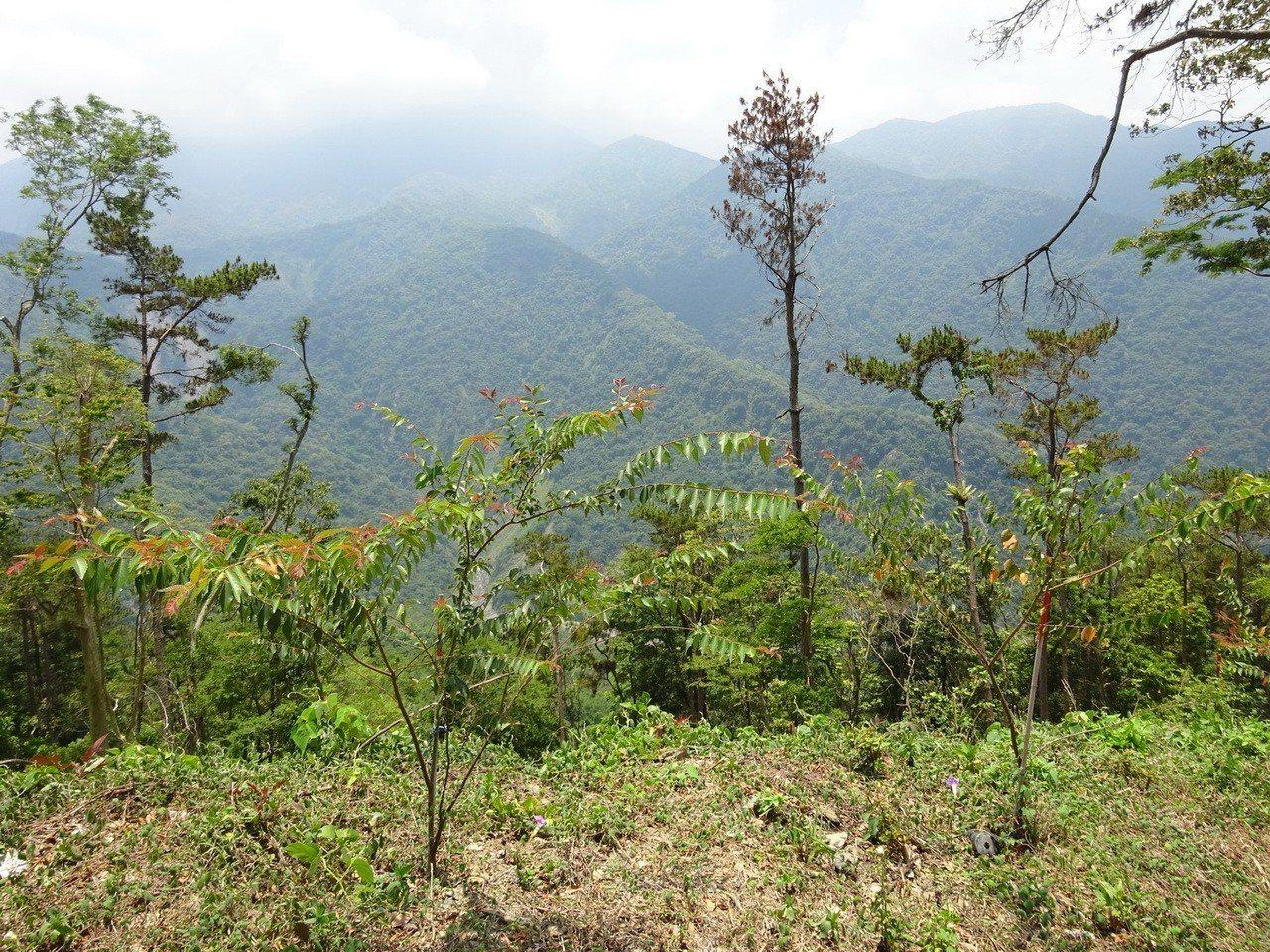 企業認養林地之一,台灣櫸在山區生長良好。圖/屏東林管處提供